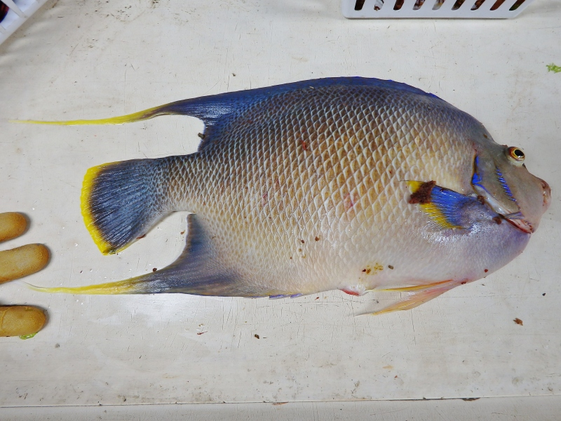 Blue Angelfish (Holacanthus bermudensis)