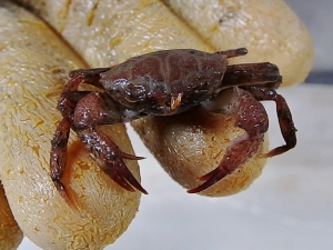 Craggy Bathyal Crab (Euphrosynoplax clausa)