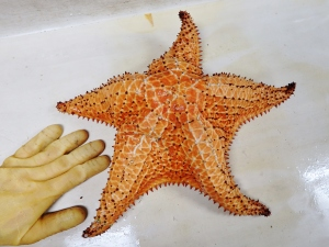 Cushion Sea Star (Oreaster grandis)