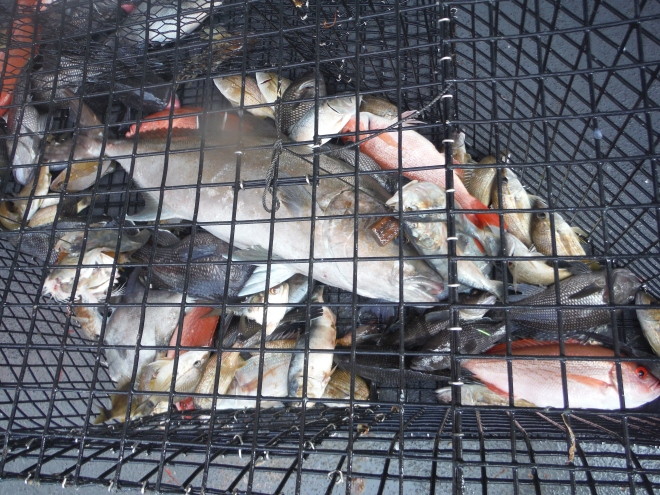 A variety of fish in a chevron trap