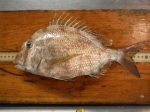 whitebone porgy