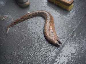reticulate moray eel