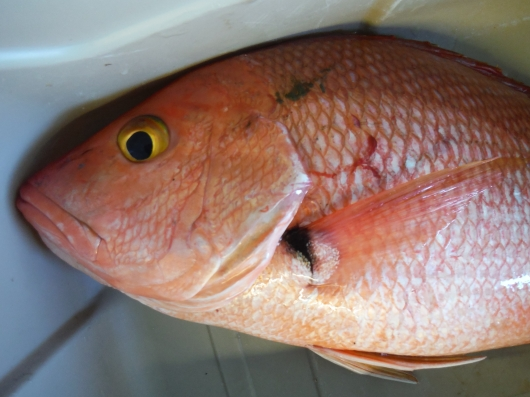DSCF3304 blackfin snapper aka hambone