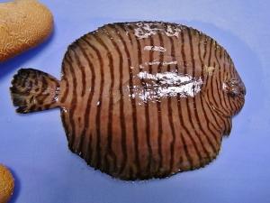 Fringed Sole (Gymnachirus texae)