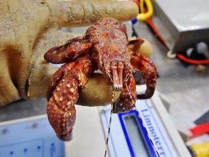 Giant Hermit Crab (Petrochirus diogenes)