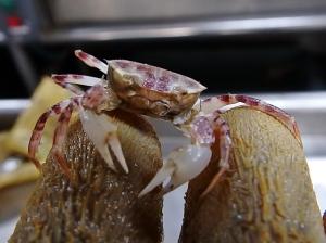 Gulf Squareback Crab (Specocarcinus lobatus)