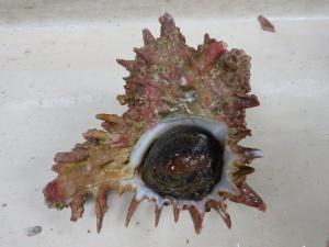 Hidalgo's Murex (Murexiella hidalgoi)
