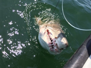 Same shark we pulled out of deep hole.