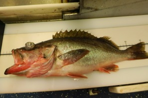 A big Dusky rockfish!