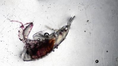 Amphipod under the microscope