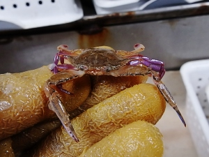 Iridescent Swimming Crab (Portunus gibbesii)