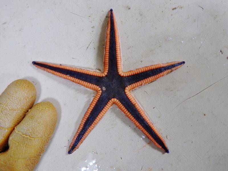 Lined Sea Star (Luidia clathrata)