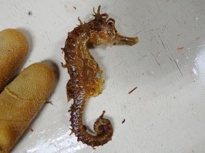 Lined Seahorse (Hippocampus erectus)