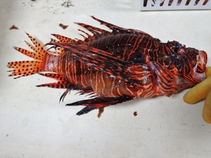 Lionfish (Pterios spp.)
