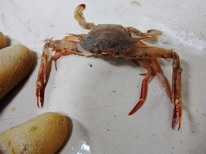 Longspine Swimming Crab (Portunas spinicarpus)
