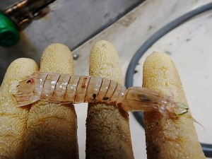 Mantis Shrimp (Squilla chydaea)