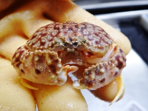 Nodose Box Crab (Calappa tortugae)