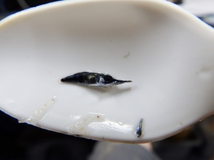 Juvenile Billfish (Istiophoridae),