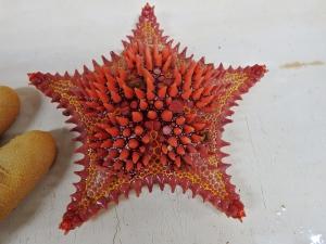 Sea Star (Goniaster tessellatus)