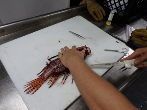 Filleting a larger lionfish