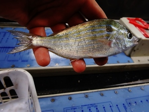 Pinfish (Lagodon rhomboides)