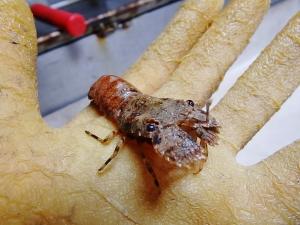 Scaled Slipper Lobster (Scyllarus depressus)
