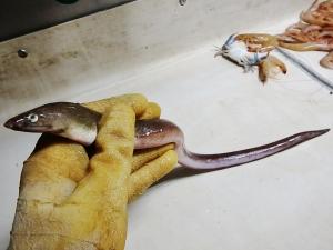 Shrimp Eel (Ophichthus gomesii)