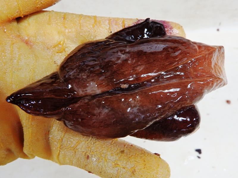 Sooty Seahare (Aplysia morio)