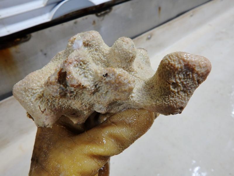 Sponge (Demospongiae)