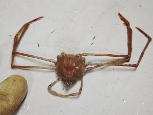 Stilt Spider Crab (Anasimus latus)