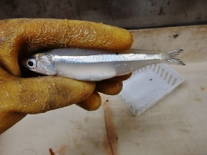 Striped Anchovy (Anochoa hepsetus)