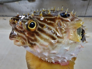Striped Burrfish (Chilomycterus schoepfii)