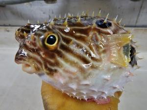 Striped Burrfish (Chilomycterus schoepfii)