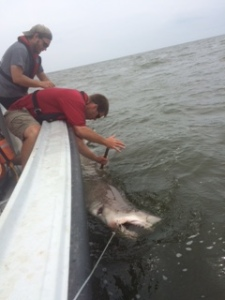 Me Dart Tagging a Sand Tiger Shark while Matt Pezzullo looks on. Photo courtesy of Nathan Keith.