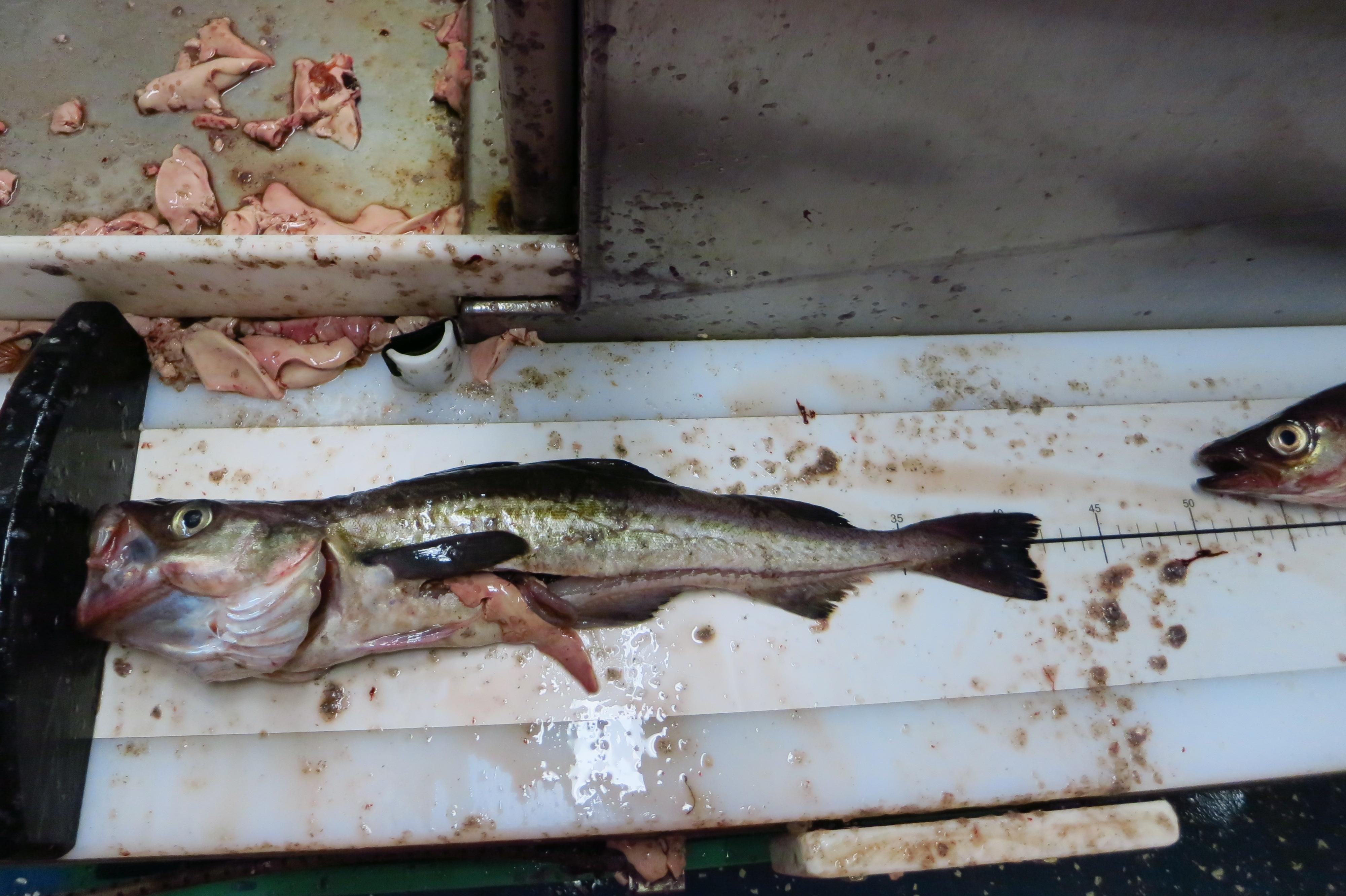 walleye pollock