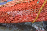 Our net full of rockfish