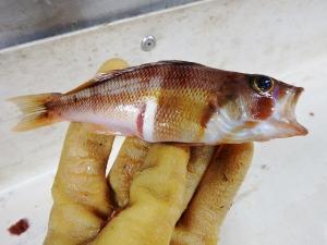 Tattler (Serranus phoebe)