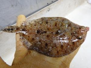 Twospot Flounder (Bothus robinsi)