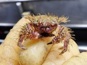 Unidentified Crab #1