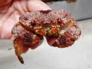 Unidentified Crab #4