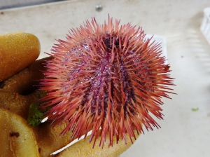 Variegated Urchin (Lytechinus variegatus)