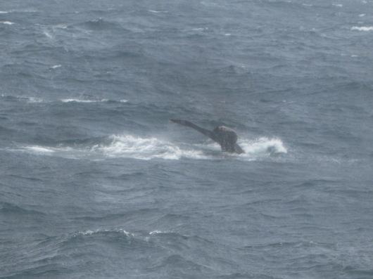 Humpback whale flukes