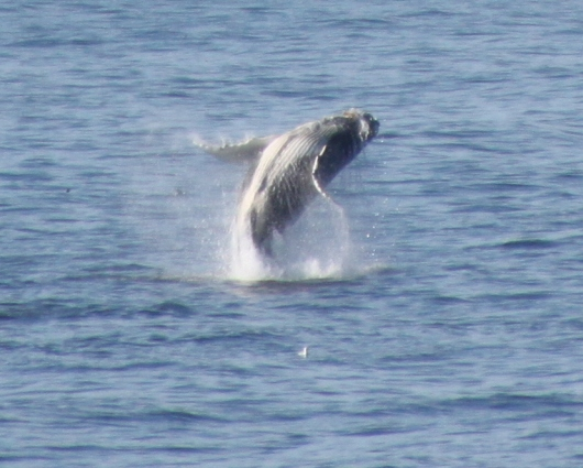 This baby humpback whale was having a blast breaching over and over again.