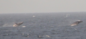 Two humpback whales breaching near our ship.