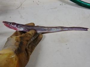 Yellow Conger (Rhynchoconger flavus)