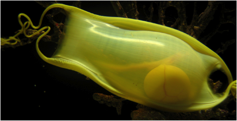 Cat Shark egg case. Photo Courtesy of Ian Davenport