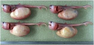 Yolk-sac embryos (Image courtesy of Ian Davenport, Ph.D.)
