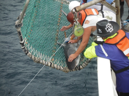 Tim Martin and deck Crew cradling a Tiger shark. Note the wooden dowel at center used to attach tags. ( Photo Credit: Erica Nuss)