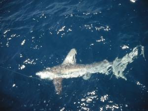 Sandbar shark ( Carcharhinus plumbeus)
