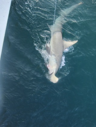 Great Hammerhead Photo Credit: Ian Davenport